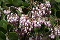 Arctostaphylos patula flowers Lassen National Forest.jpg