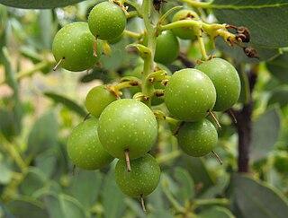 <i>Arctostaphylos rainbowensis</i> species of plant