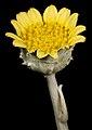 Arctotheca populifolius - Flickr - Kevin Thiele.jpg
