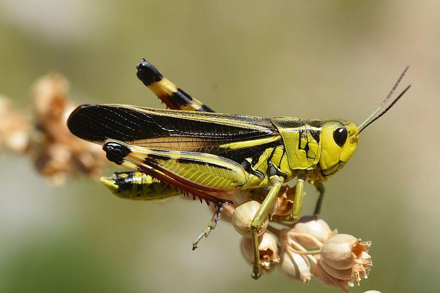 Arcyptera fusca male