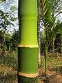Areca catechu - Areca nut palm bark at Mayyil.jpg