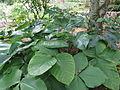 Arisaema iyoanum subsp nakaianum1.jpg