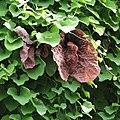 Aristolochia elegans-IMG 6980.jpg