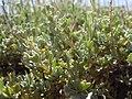 Artemisia arbuscula (5446052310).jpg