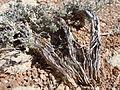 Artemisia bigelovii — Matt Lavin 017.jpg