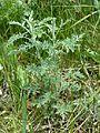 Artemisia pontica sl9.jpg