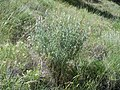Artemisia tridentata vaseyana (5062501977) (1).jpg