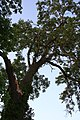 Ash Tree - geograph.org.uk - 872408.jpg