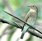 Asian Brown Flycatcher (Muscicapa dauurica).jpg