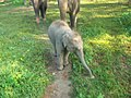 Asian Elephant Safari in Chitwan National Park, Chitwan, Nepal (Elephas Maximus Indicas) 04.jpg