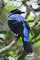 Asian Fairy-bluebird (Irena puella) (cropped).jpg