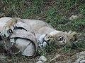 Asiatic Lioness 10.jpg