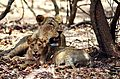 Asiatic lioness with her cub.jpg