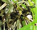 Asilidae. Mating Robberflies (37860795445).jpg