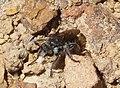 Asilidae . Robberfly (32325451000).jpg