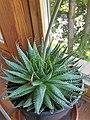 Asparagales - Agave filifera - 4.jpg