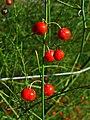 Asparagus officinalis 004.JPG