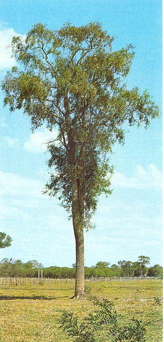 Aspidosperma quebracho-blanco - Image: Aspidosperma quebracho blanco