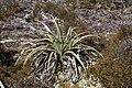 Astelia nivicola in Lewis Pass Scenic Reserve 02.jpg
