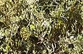 Aster maritime (Tripolium pannonicum) dans les prés salés.jpg