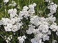 Asteraceae - Achillea abrotanoides.jpg