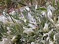 Astragalus gilviflorus (3531694693).jpg