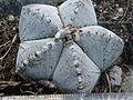 Astrophytum myriostigma (5699249929).jpg