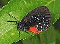 Atala - Eumaeus atala, Fairchild Tropical Gardens, Coral Gables, Florida (23999580807).jpg