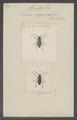 Athemistus - Print - Iconographia Zoologica - Special Collections University of Amsterdam - UBAINV0274 034 03 0004.tif