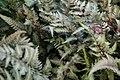 Athyrium nipponicum Pictum 6zz.jpg