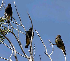 Familienverband Schwarzzeisige, rechts außen ein Jungvogel