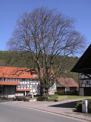 Neuenstein, Hesse - Roughly 1,200-year-old linden in the constituent community of Aua