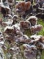 Auricularia mesenterica BG.JPG