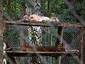 Aus sicherer Entfernung Luchse Wildpark Alte Fasanerie Juni 2012.JPG