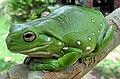 Australia green tree frog (Litoria caerulea) crop.jpg