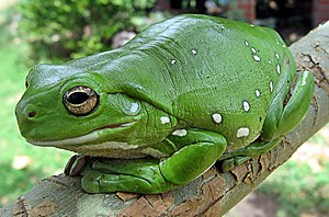 Domain (biology) - Image: Australia green tree frog (Litoria caerulea) crop