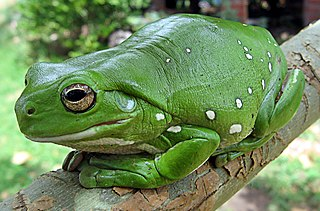 Australian green tree frog species of amphibian