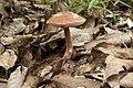 Austroboletus gracilis 04.jpg