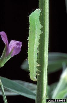 225px-Autographa_californica_larva.jpg