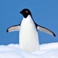 Avatar penguin.png