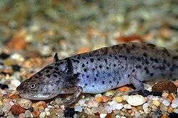 Axolotl !! 250px-Axolotl_1