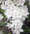 Azaleas (Newark, Ohio, USA) 3 (33781344204).jpg