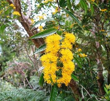 Azara lanceolata-flores