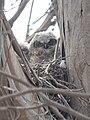 Baby horned owl (34934456695).jpg