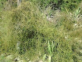 Juan Ponce de León - Bahamian love vine (Cassytha filiformis), Bahamas