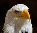 Bald Eagle Head (6019417016).jpg