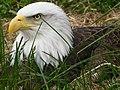 Bald Eagle in Grass.jpg