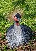 Balearica regulorum - Karlsruhe Zoo 02.jpg