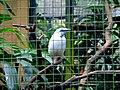 Bali Starling, Leucopsar rothschildi -Bali Starling at Bali Bird Park.jpg