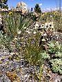 Ballhead sandwort (14584639826).jpg
